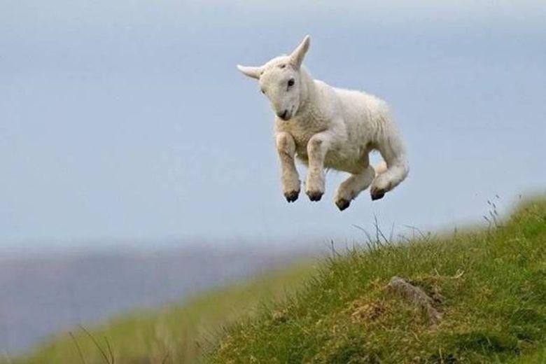 lamb-bounce.jpg
